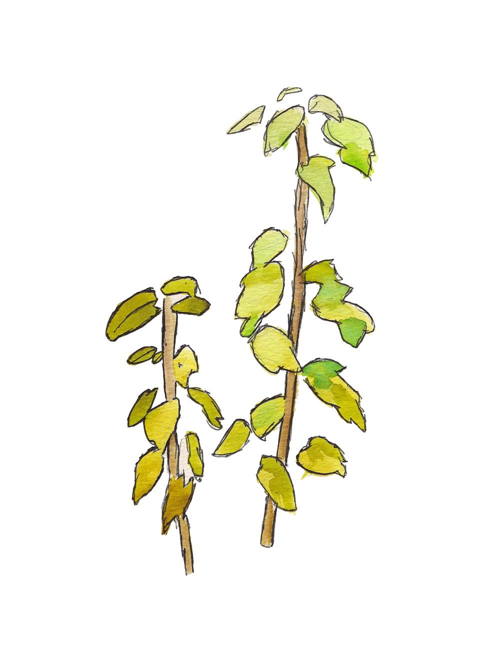 Plants-Chico-Watercolor