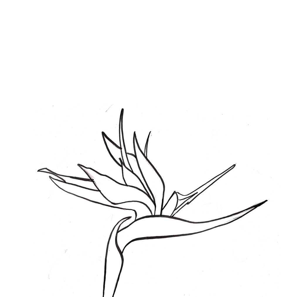 It is a graphic of Sly Bird Of Paradise Drawing